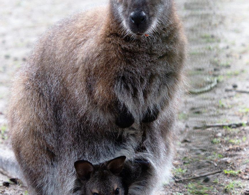 Kangoeroepark